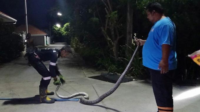 Un python capturé dans un poulailler de Rawai