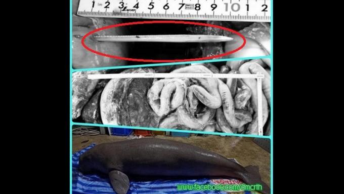 Un aiguillon de raie a tué le lamantin de Railay