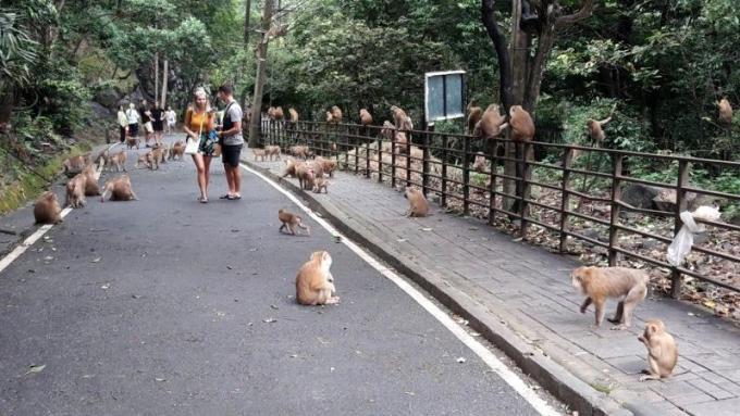 Nouvelles inquiétudes quant à la population de singes sauvages de Phuket