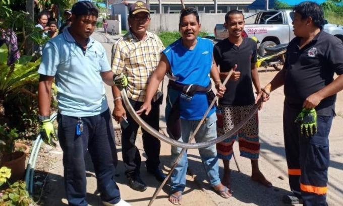 Un cobra de deux mètres capturé près d'une habitation de Rawai, les secouristes appellent à la