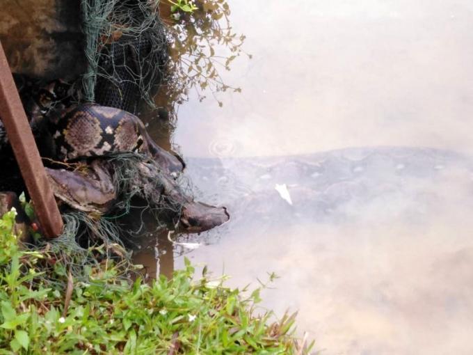 Un python de cinq mètres capturé à Wichit
