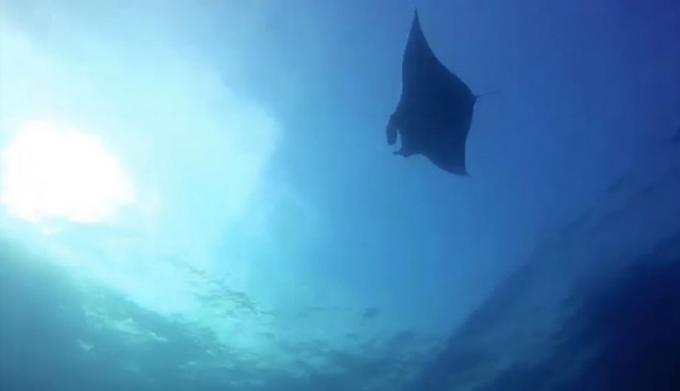 Une raie manta géante aperçue au large de Phang Nga