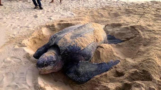 Une grosse tortue luth pond sur une plage de Thai Mueang