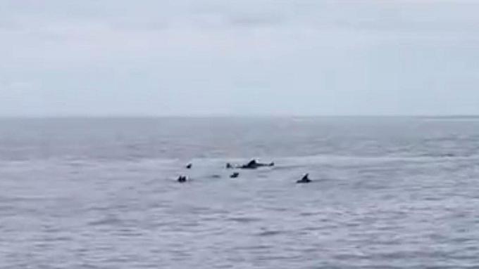 Plus de 30 dauphins aperçus au large de Phang Nga