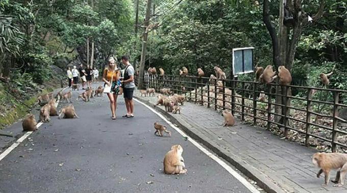 Un touriste russe mordu par un singe à To Sae Hill