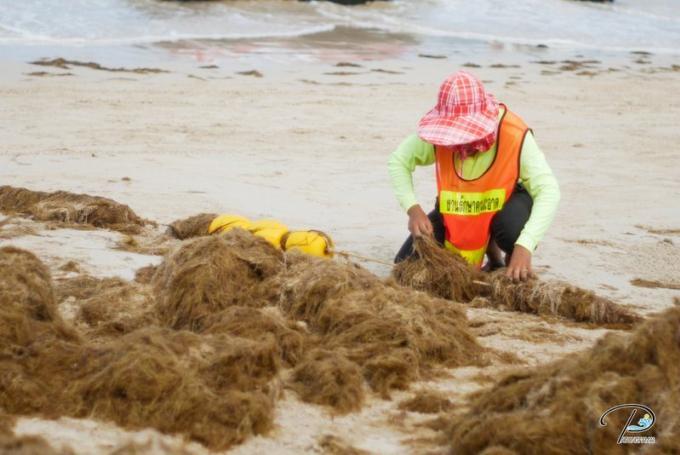 Des algues brunes ont envahi Patong Beach