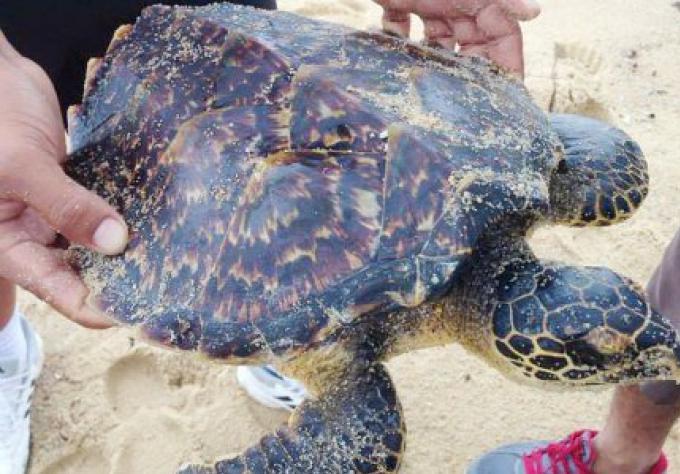 Des tortues de mer blessées par la mer très agitée