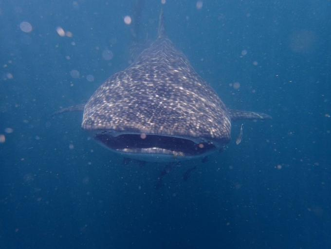 Prudence près du requin baleine aperçu au large de Lanta