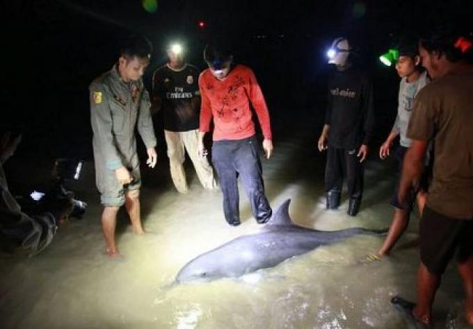 Les pêcheurs de Phang Nga aident un dauphin faibles trouvés dans petite crique près de Khao Lak