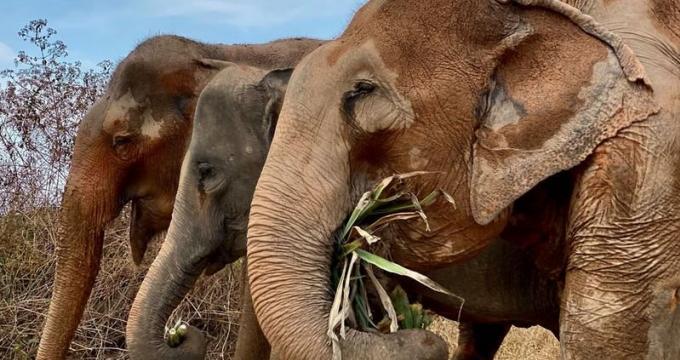 L'inquiétude grandit pour les éléphants avec la fermeture des camps de Phuket