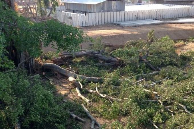 Écologistes de Phuket bouleversé par le hachage d'un arbre de 100 ans
