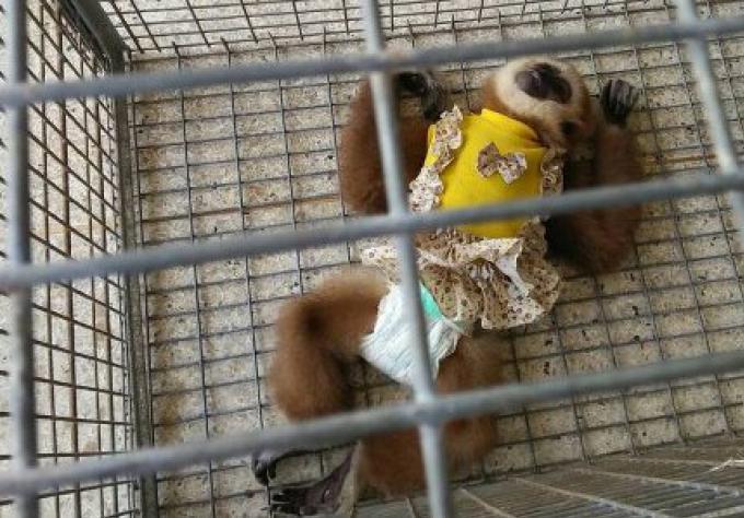 Trois hommes arrêtés avec des bébés gibbons à Phi Phi